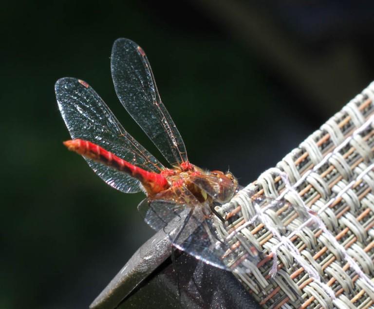 Dragonflies, cookdrinkhike.wordpress.com