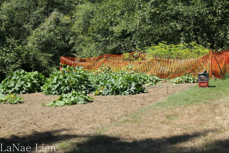 The family garden--small these days, but still bountiful. The netting is around the green beans to keep out the....guess what type of animal?