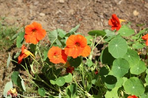 Grandma has a huge bed of nasturtiums. It's been in existence as long as I remember. We used to eat part of the flower when we were kids.