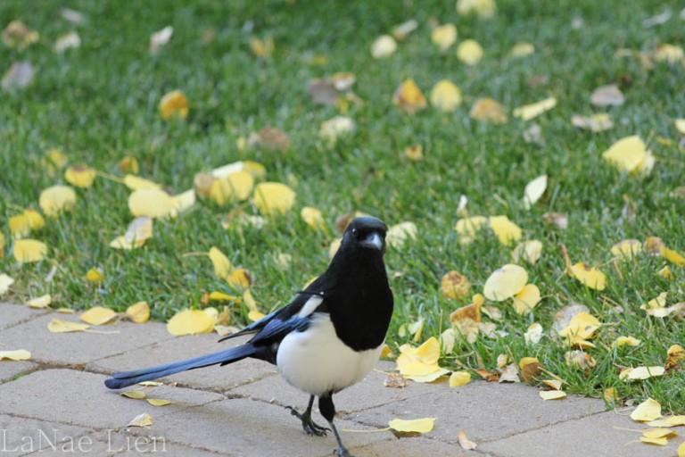 The Elusive Magpie, cookdrinkhike.wordpress.com