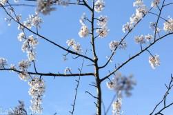 Blue Sky and Cherry Blossoms, cookdrinkhike.wordpress.com