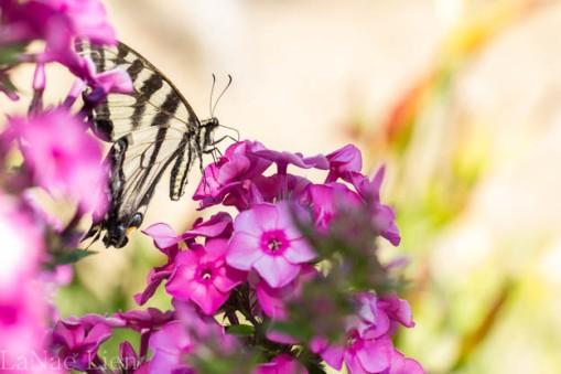 20170714-butterfly-35