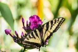 20170714-butterfly-59