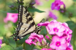 20170714-butterfly-79