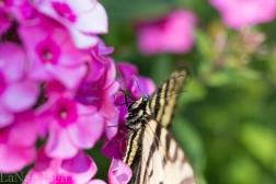 20170714-butterfly-85