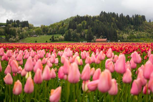 20180429 Degoede tulips-IMG_0002