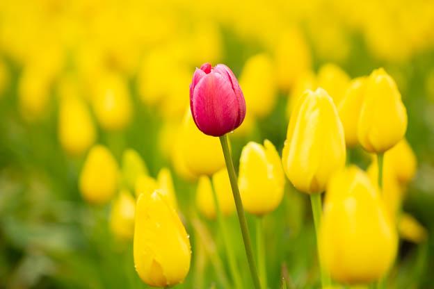 20180429 Degoede tulips-IMG_0013-2