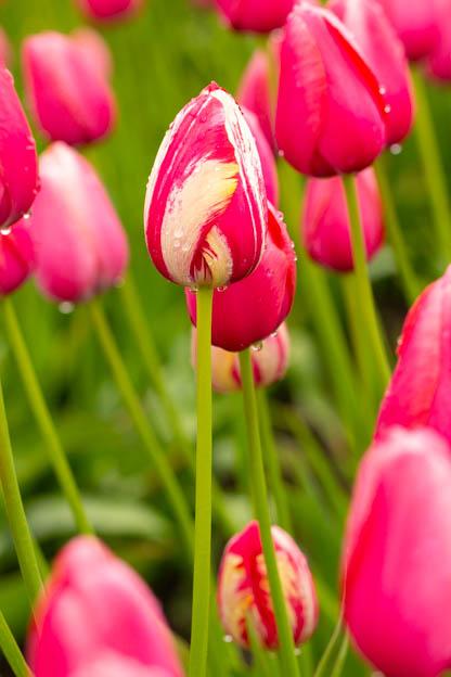 20180429 Degoede tulips-IMG_0037