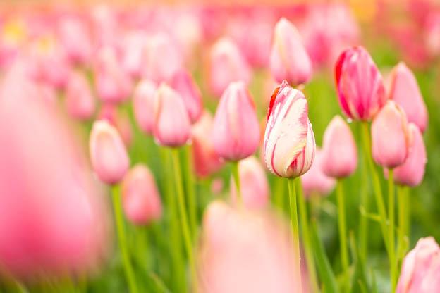 20180429 Degoede tulips-IMG_0077